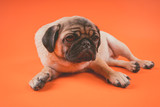 Funny pug puppy, on orange background. Pug posing for the camera.