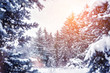 Frosty winter landscape in snowy forest. Pine branches covered with snow in winter weather. Christmas background with fir trees