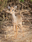 Portrait of Male Kirk Dik Dik, Madoqua kirkii, the smallest antelope
