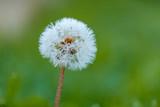 single wet dandelion flower on the grassy ground with creamy green background