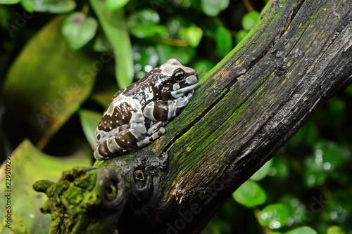 Resinifictrix Trachycephalus Brown Amazon Tropical Exotic Tree Frog