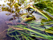 green frog in water
