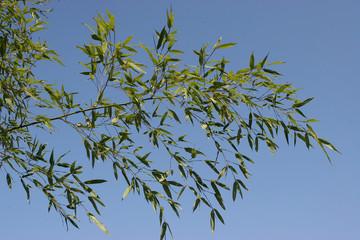 Bambus. Zierpflanze und Baustoff © WernerHilpert