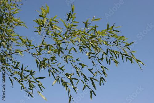 Bambus. Zierpflanze und Baustoff