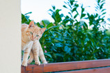 gatto rosso in equilibrio su una staccionata in legno teak davanti ad una siepe di laurus