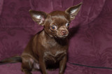 Funny chihuahua puppy on the sofa