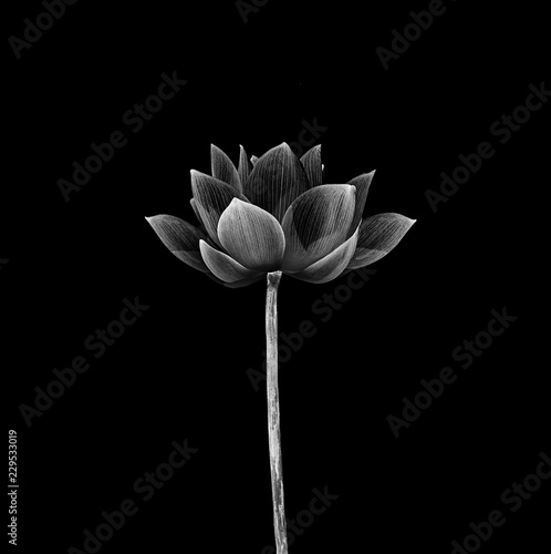 Lotus Flower Isolated On Black Background Buy Photos Ap Images