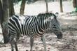 zebra animal wild