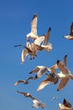 Herring Gulls  having an aerial scrap over bits of fish