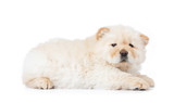 Fluffy white chow-chow puppy, isolated on white background