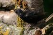 Amsel (Turdus merula) oder Schwarzdrossel