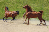 young purebred arabian horses playing together - 229569234