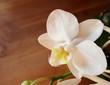 gros plan d'une fleur isolée d'orchidée phalaenopsis blanc, espace de copie à gauche sur support en bois brun