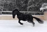 black stallion in snow
