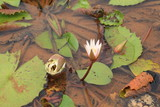 lotus in a african pond