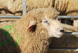 portrait of fluffy romney sheep at the exhibition of farm animals in Vendryne, Czech Republic, October 13, 2018  - 229593052