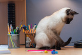 A siamese cat is sitting on the table