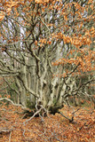 tough beech tree with crooked branches and orange sear leaves in autumn - 229597284