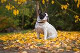 French bulldog in autumnal scenery, Poland - 229601034