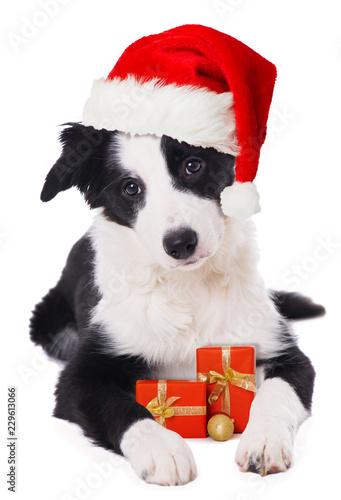 Leinwanddruck Bild Boder Collie Welpe mit Weihnachtsmütze und Geschenken