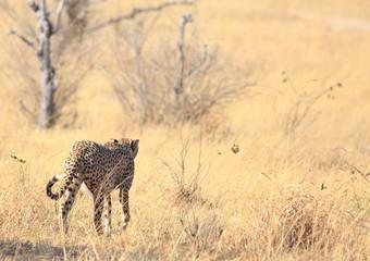 Lone Male Cheetah (Acinonyx jubatus, ) walking wawy from camera onto the open savannah near Shumba in Hwange Natioanl Park, Zimbabwe