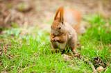 Wiewiórka w trawie
