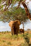 Elephants in Kenya, Africa - 229637427