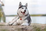 Happy beautiful husky by the lake.
