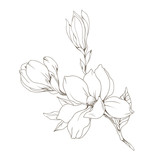 Magnolia flowers and buds on white. Vector illustration - 229662407