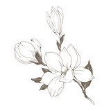 Magnolia flowers and buds on white. Vector illustration - 229662418