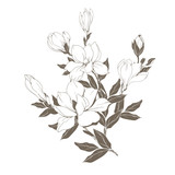 Magnolia flowers and buds on white. Vector illustration - 229662450