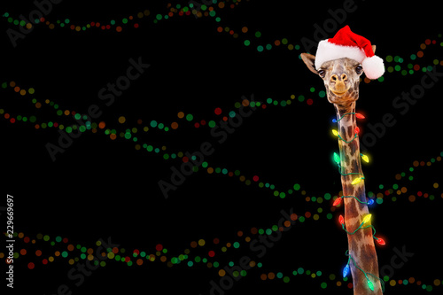 Zoo Giraffe Wearing Christmas Lights