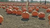 People walking in a pumpkin patch. - 229673854