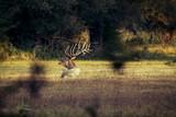 Red Deer male roars - 229689819