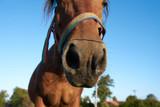 Brown horse muzzle close up
