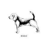 Hand drawn beagle - 229691815