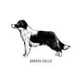 Hand sketched border collie - 229691827