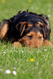 Young Airedale cross laying flat on grass
