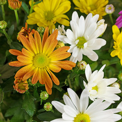 Bunte Chrysanthemen, Chrysanthemum