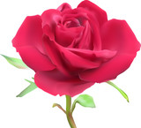 large isolated bright red rose bloom illustration