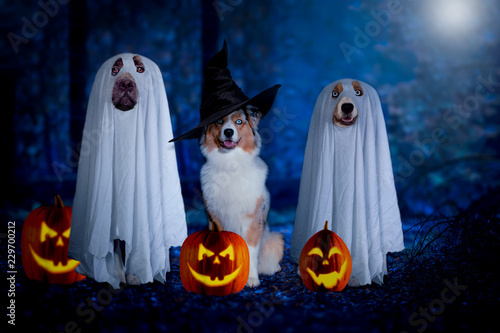 Leinwanddruck Bild Halloween, three dogs sit disguised as ghost and witch in front of pumpkins