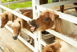 Portrait of little pony in the stable at the agricultural farm. - 229702236