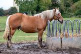 Cheval de race comtoise devant râtelier à foin