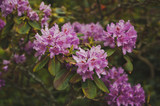 A Bush of pink rhododendron Pontic during flowering 1535.