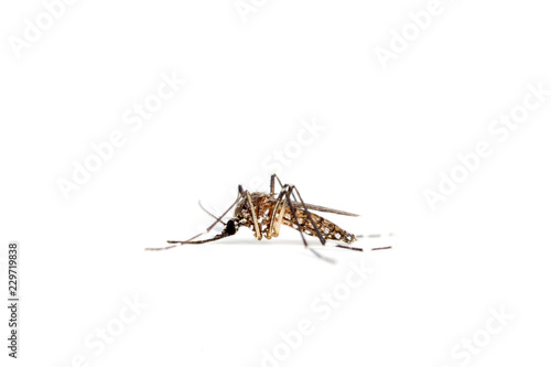 Mosquito isolated on a white background - 229719838