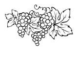 Grapes / Vector illustration, vintage design element - 229723237