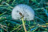 frozen dandelion blowball in autumn