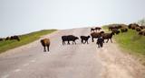 A herd of rams cross the road - 229734881