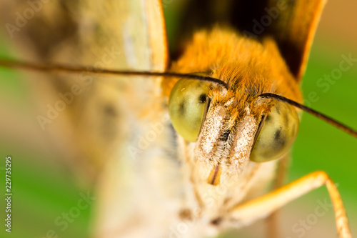 portrait of a butterfly in nature - 229735295