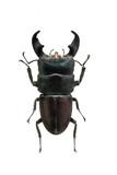 beetle Dorcus titanus isolated